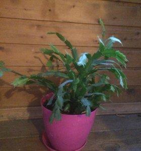 Комнатные растения Рапсалидопсис