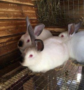 Половозрелые крольчихи
