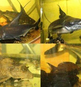 Акульи сомы