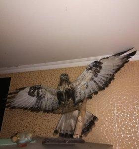 Чучело настоящего орла!!!
