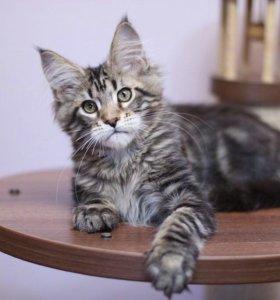 Котенок мейнкун чёрный мрамор