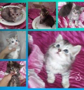 Красивые котята от персидской мамы