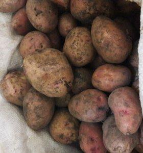 картофель деревенкский