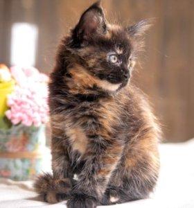 Клубные котята мейн кун, рассрочка