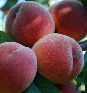 Персики поздние