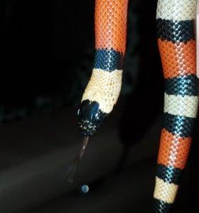 Молочная змея +террариум с комплектующими