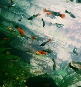 Рыбки, Гуппи, Данио, Сомики