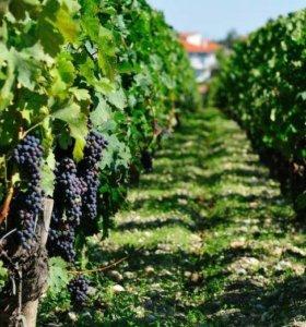 Виноград на вино молдова на заказ