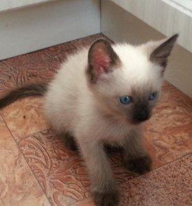 Тайские-голубые