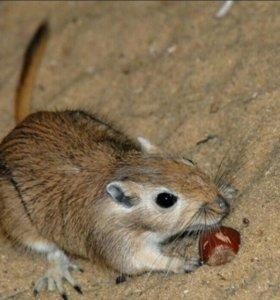 Мышки песчанки с террариумом.
