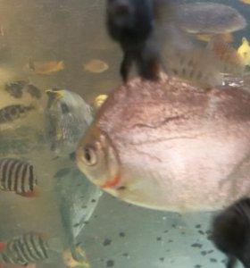 Рыба долар(метенис)