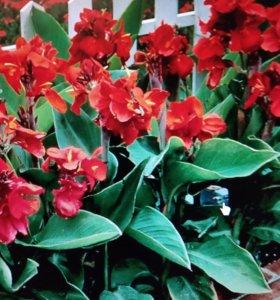 Канны.Цветы растения в сад