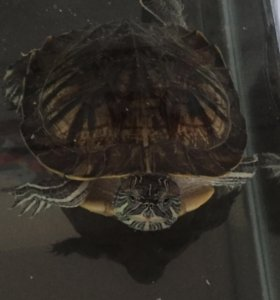 Красноухая черепашка с аквариумом и оборудованием