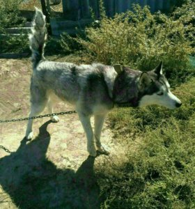 Сибирская овчарка потерялась хозяин звоните ))