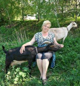 Молоко, творо, брынза от домашних коз