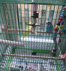 Даром пара волнистых попугаев