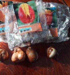 Новые Луковицы тюльпанов