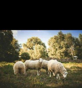 Продаются 5 овец и один баран