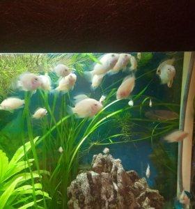 """Рыбки """"Фламинго"""""""