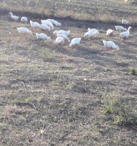 Подрощенные гуси