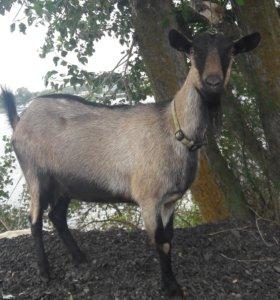 Коза альпийская
