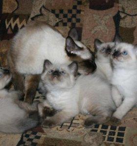Сиамские синеглазые котятки