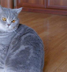 Вязка Шотландский кот страйт