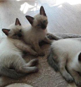 Тайские котята ждут именно тебя