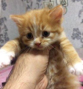 Продам котят шотландской вислоухой кошки.