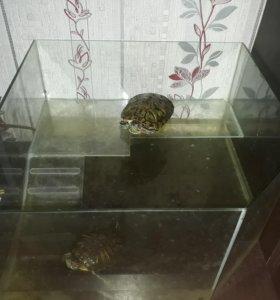 Красноухая, водная черепаха