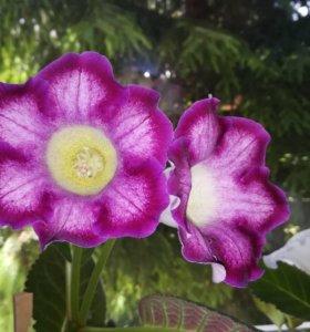 Цветы. Глоксиния (листики)