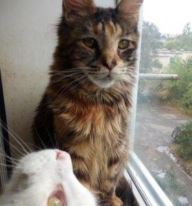 Кошка Мейн-Кун Маленькая рысь у Вас дома