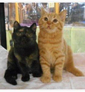 Британские котята мальчики и девочка породистые