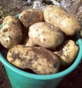 Картофель крупный,желтый