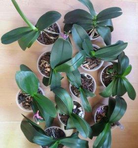 Орхидеи/🌸🍃🌺🍀фаленопсис/кашпо