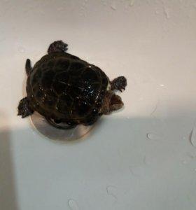 Черепаха маленькая в добрые руки