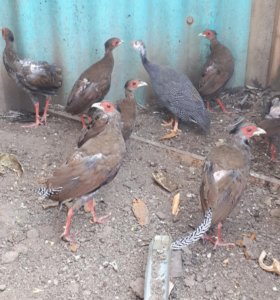 Золотые и серебристые фазаны