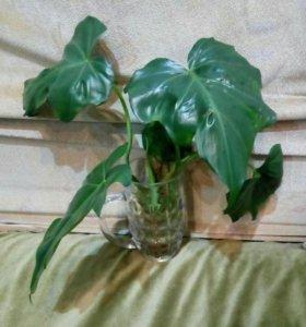 Цветок комнатный Филодендрон