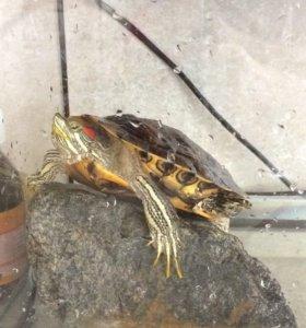 Водоплавающая черепаха