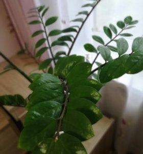 Долларовое дерево (замиокулькас)