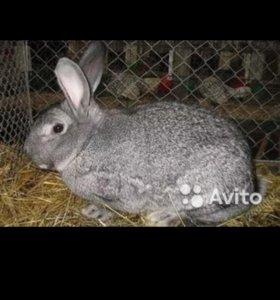 Кролики, самец на племя