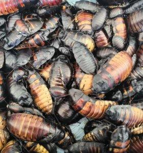 Мадагаскаские тараканы