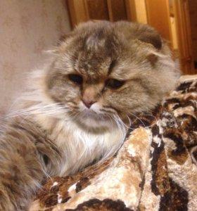 Шикарный  вислоухий кот Наглопольд для вязки🐾