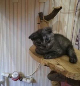 Котята шотландики