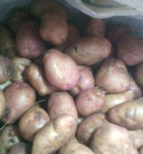 Картошка на Семену