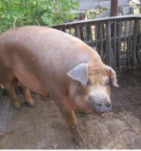 Свиньи хряки кабаны крс принимаю