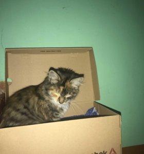 Кошка трехцветная
