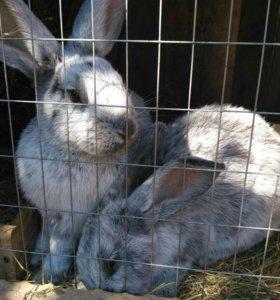 кролики Серебро