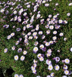Цветок октябринка