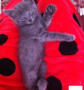 Отдам котенка от русской голубой